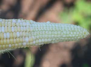ear of corn that was poorly pollinated