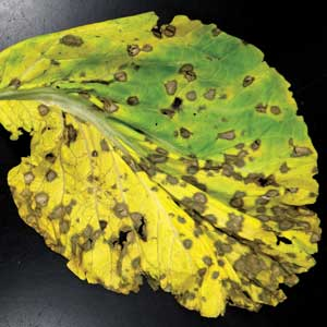 symptoms of white leaf spot