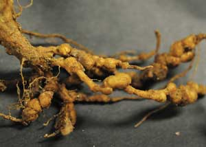 symptoms of root-knot nematodes