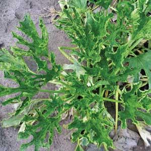 symptoms of virus on squash plant