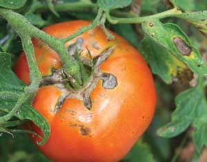 fruit cracking on tomato