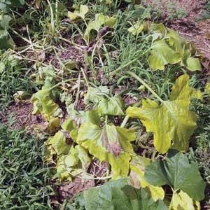 symptoms of yellow vine disease