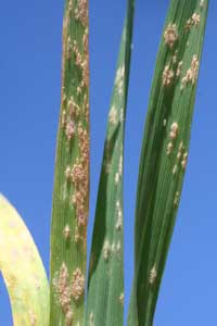 symptoms on wheat leaves