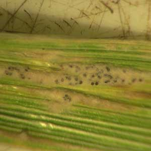 symptoms on wheat blade