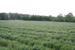 field of wheat germ plasm