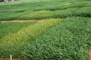 wheat test plots