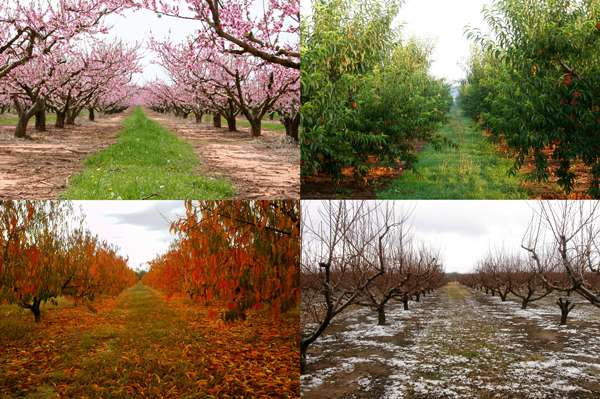 peach orchard in spring, summer, fall, winter
