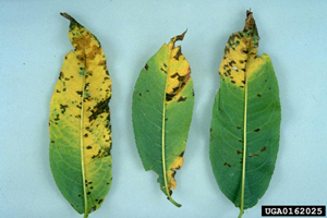peach leaves with bacterial spot