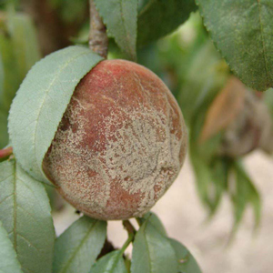 peach with brownrot