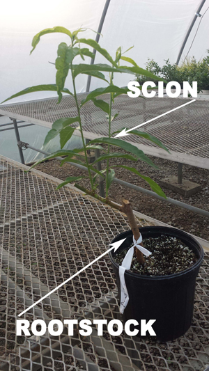 scion vs. rootstock