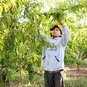 man thins peach tree