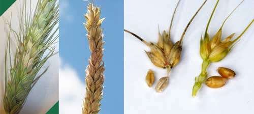 infected spikelets and kernels
