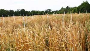 wheat test plot