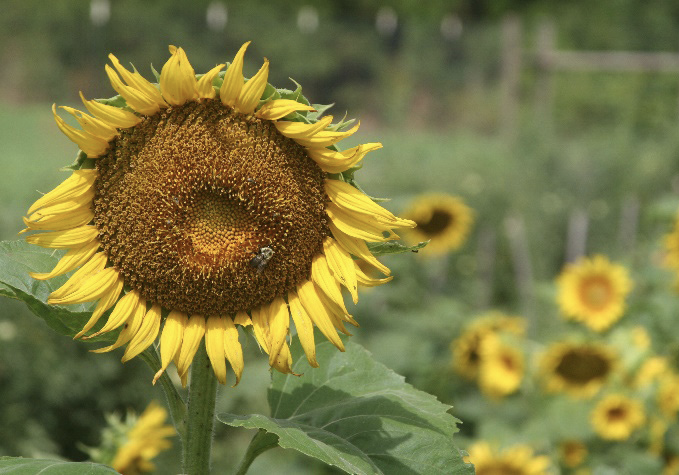 An insect resting on a sunflower