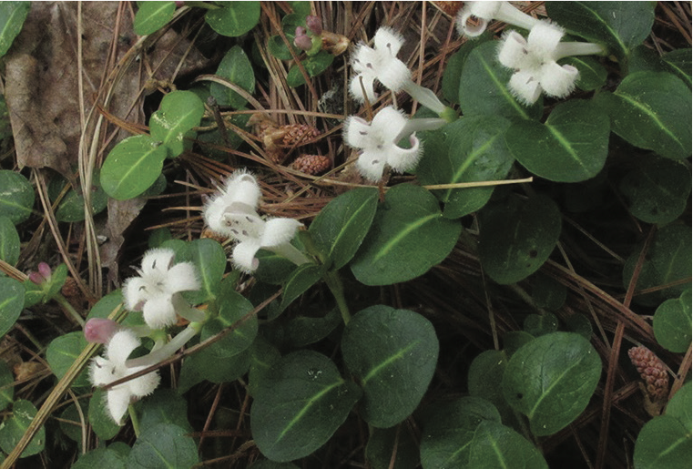 White flowers of the partridge berry
