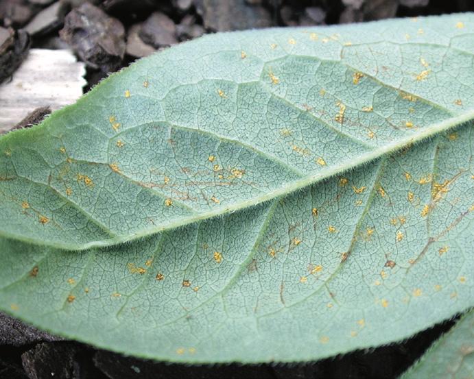 Leaf rust on native azalea leaf