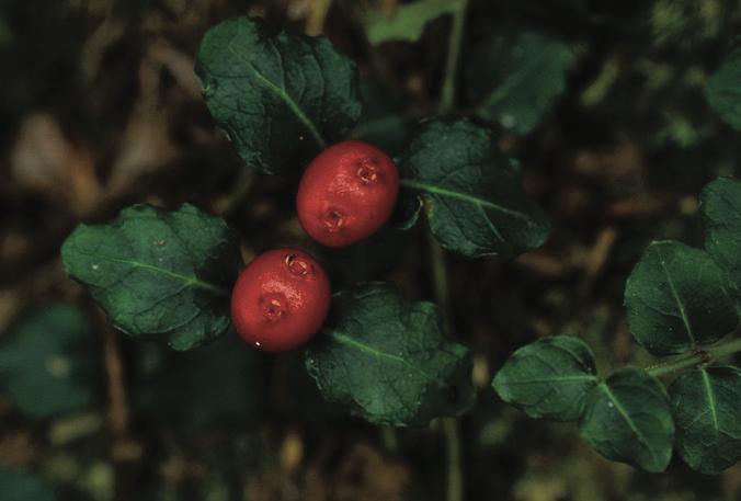 Matured partridge berry fruit