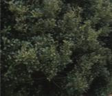 Inkberry plant