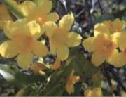 Carolina yellow jessamine
