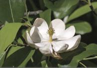 Swamp magnolia flower