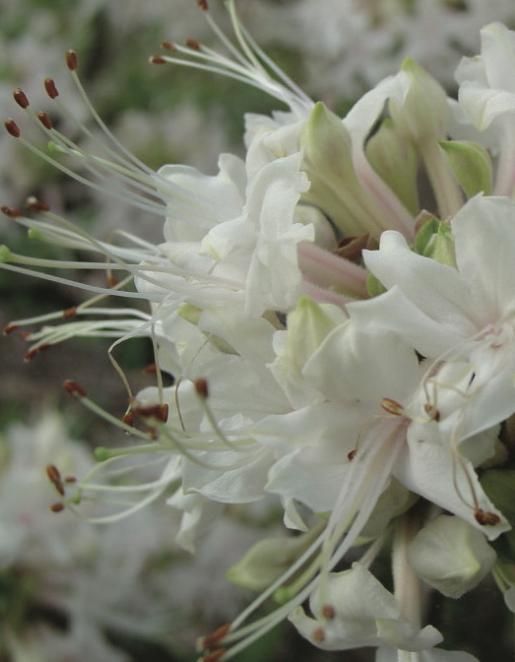 Piedmost azalea