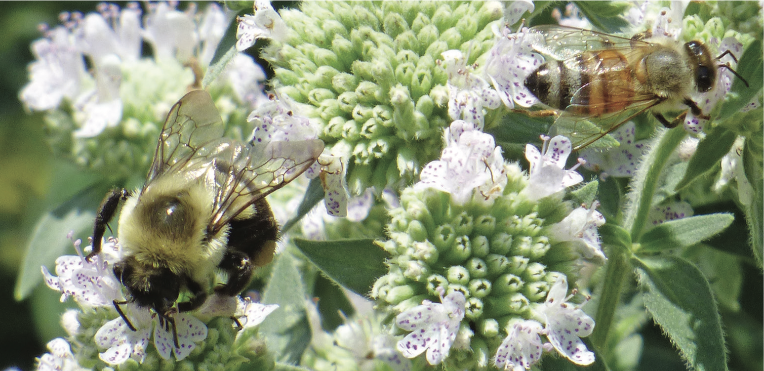 Bumble bee and honey bee on mountain mint