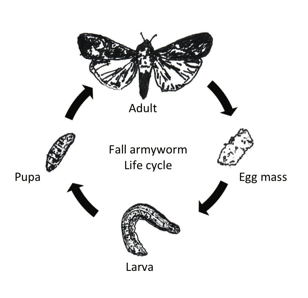 Diagram of the lifecycle of the fall armyworm