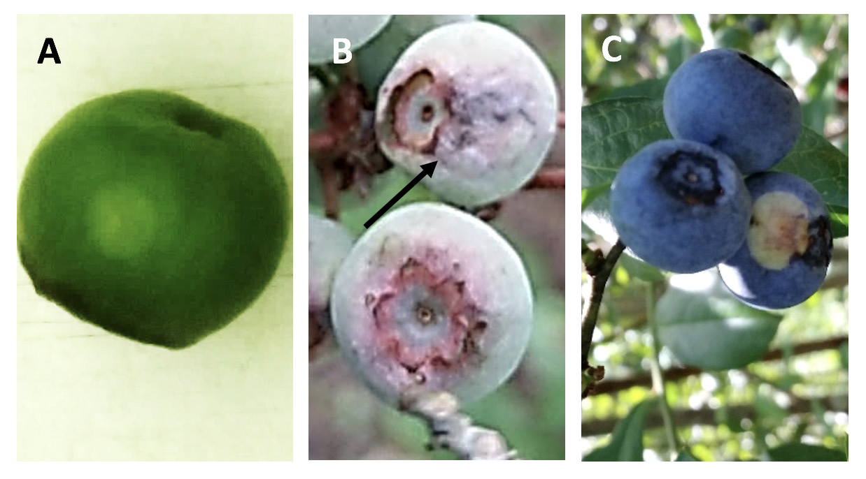 Faint spot on a green berry, sporulation on unripened berries,consicuous fruit spot on ripened berries