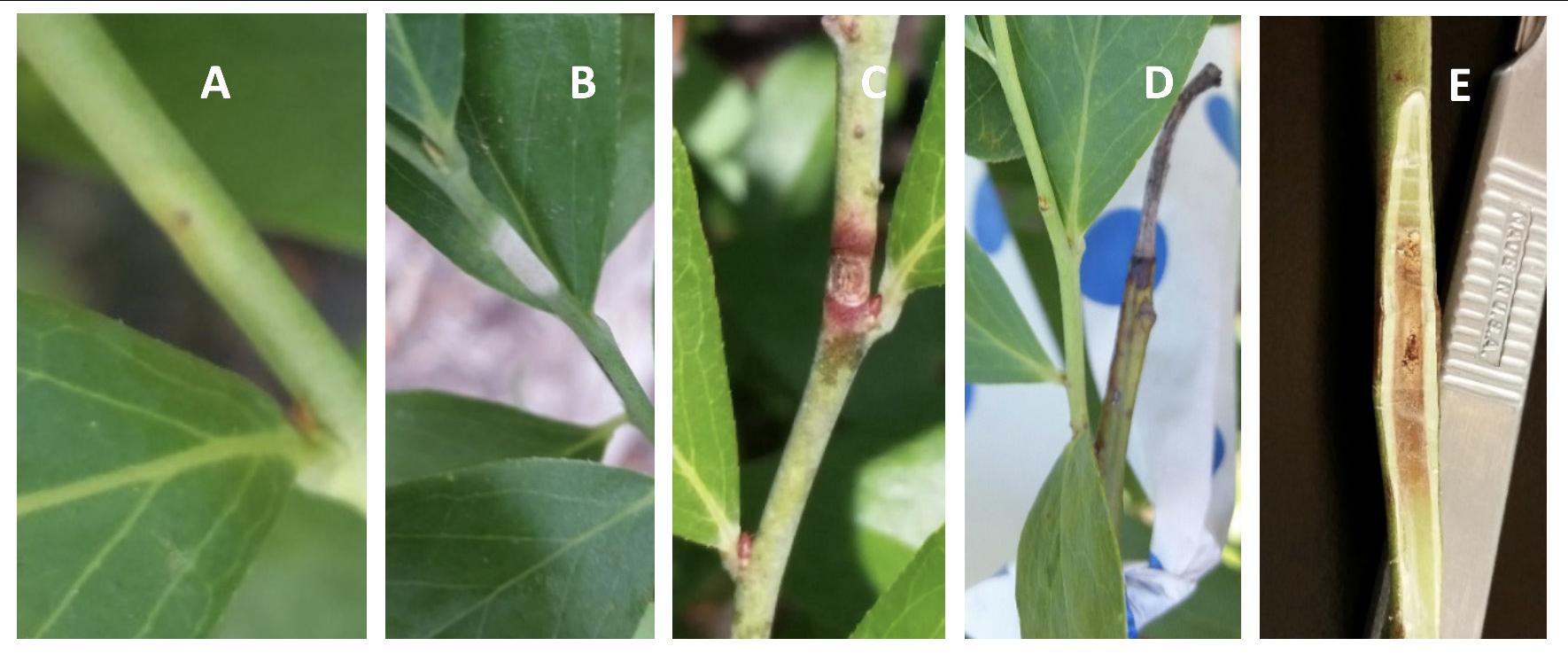 Progression of exobasidium shoot spots