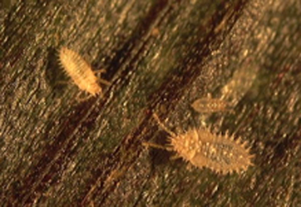 L. plana nymphs