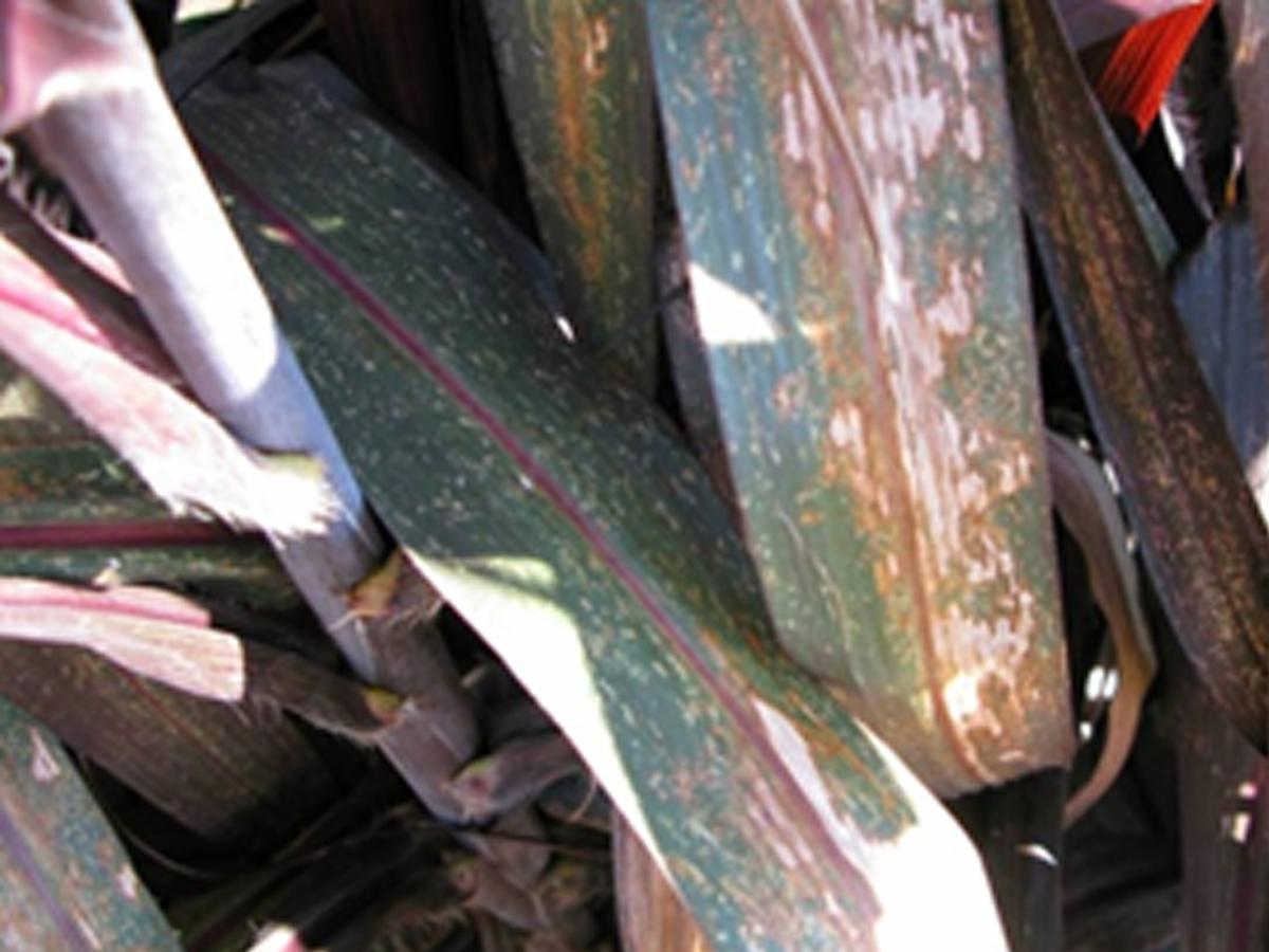 l. plana damage