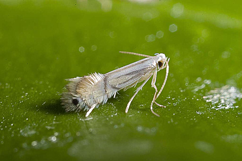 Adult citrus leafminer