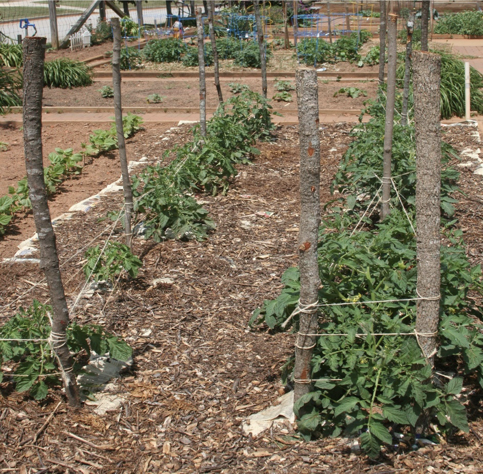 Tomato plants tied to stakes using the Florida weave method