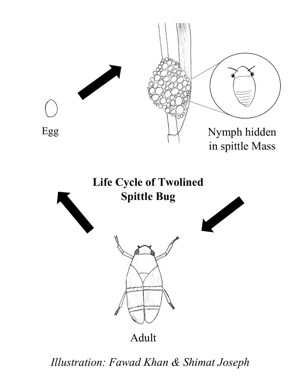 Diagram of the life cycle of the two-lined spittle bug