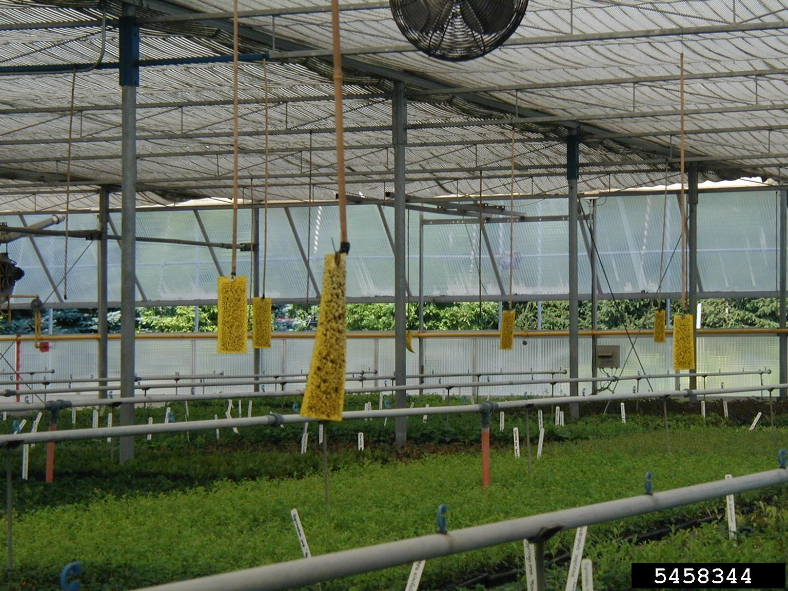 Yellow sticky cards in a commercial greenhouse