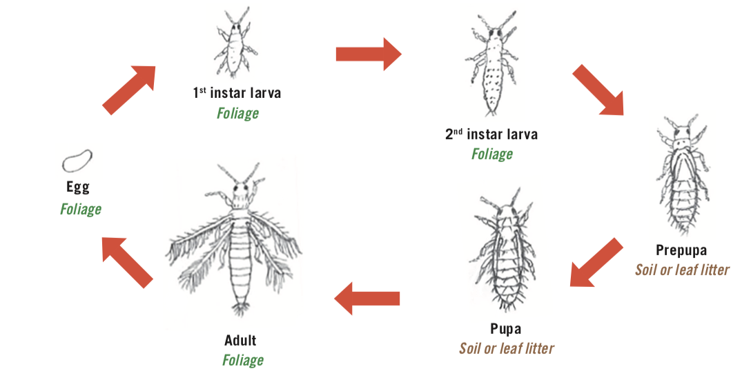Diagram of the lifecycle of western flower thrips