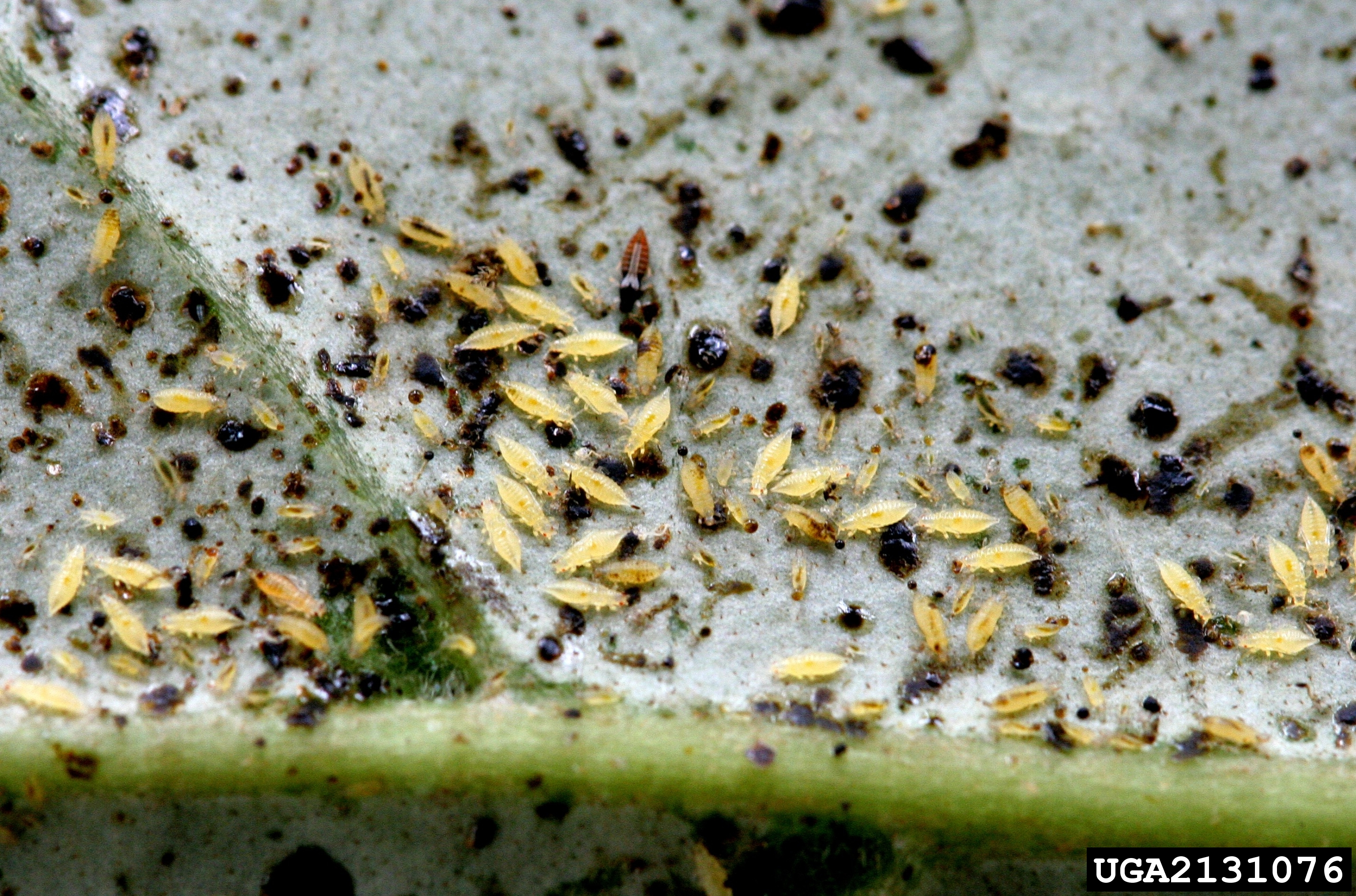 Adult and larva greenhouse thrips