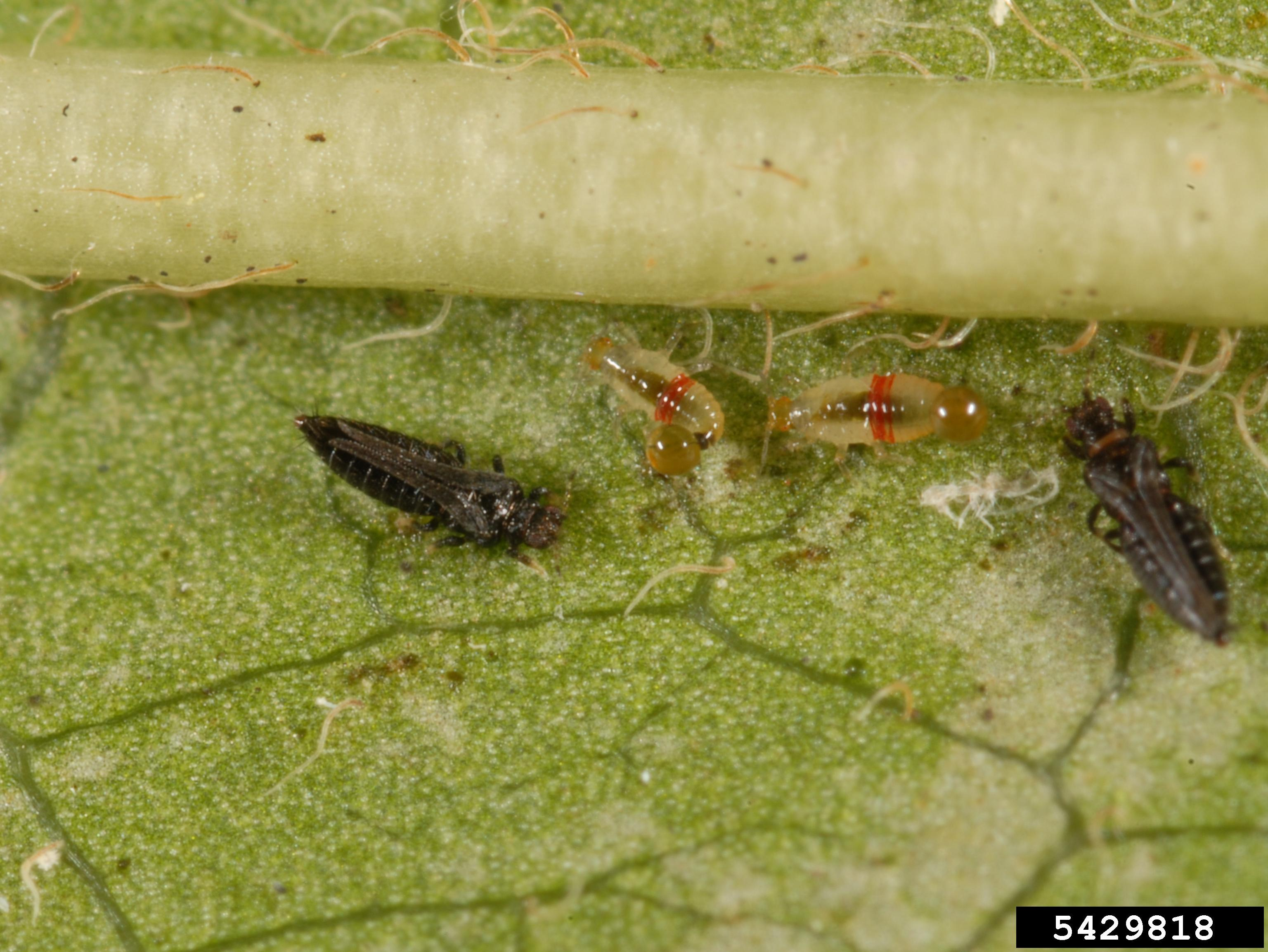 Red banded thrips