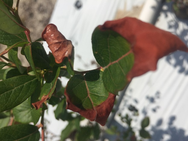 Salt injury on a blueberry plant