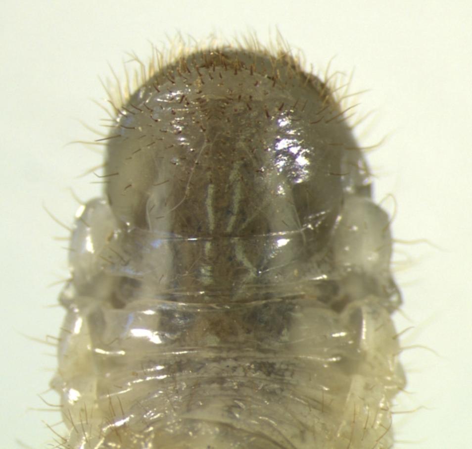 Japanese beetle grub patten of hairs