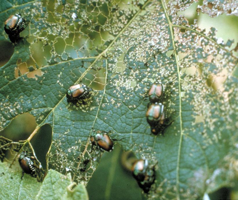 Japanese beetles on damaged leaf