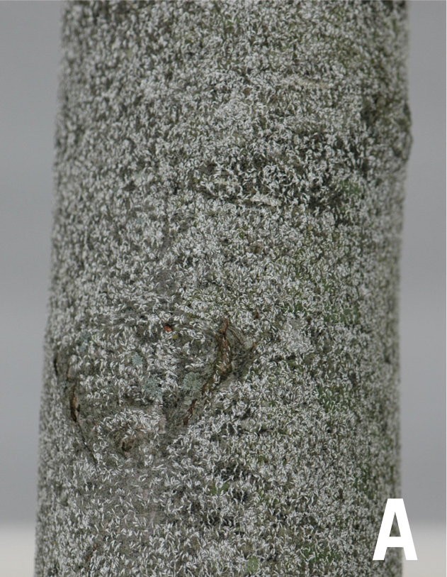 Japanese maple scale infestation on a tree trunk