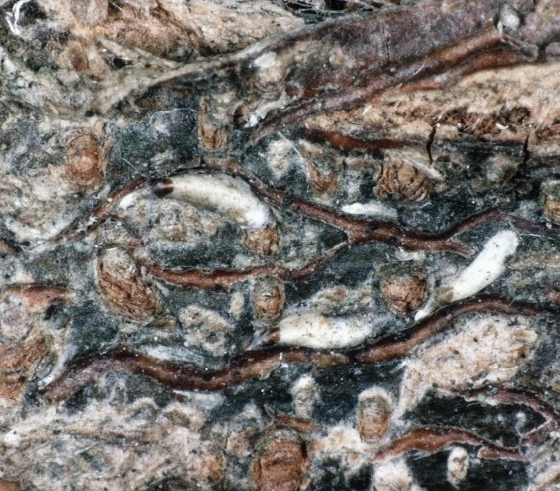 Japanese maple scales blending into tree bark