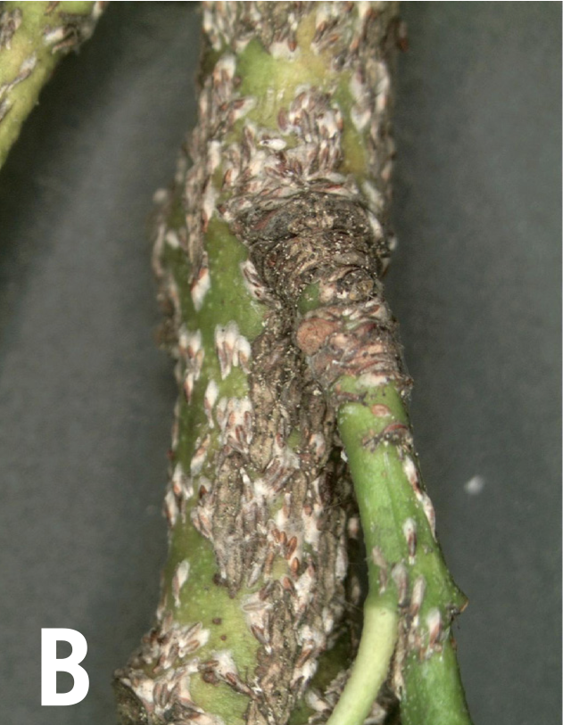 Japanese maple scale infestation on branches