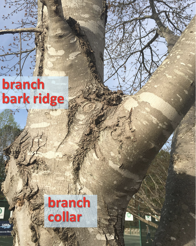Branch ridge and branche collar regions of a tree