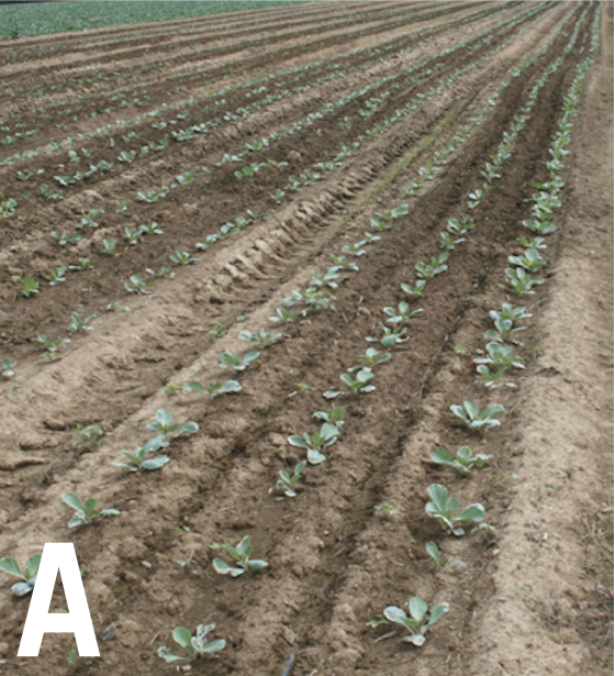 Brassica crops at the beginning of the season