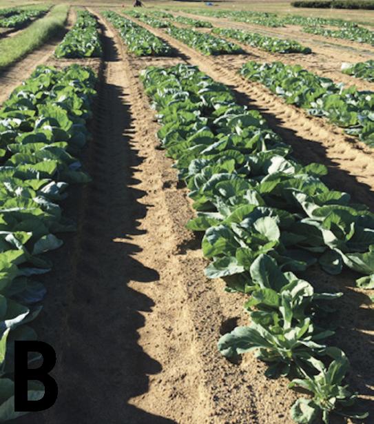 Mid season Brassica crops