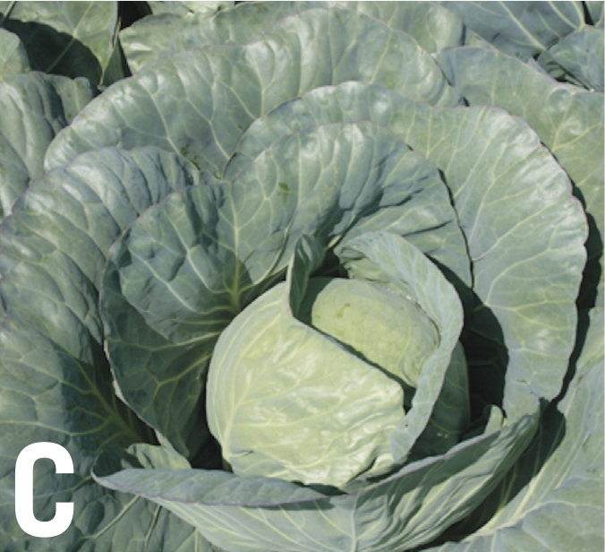 Brassica crops at the end of the season