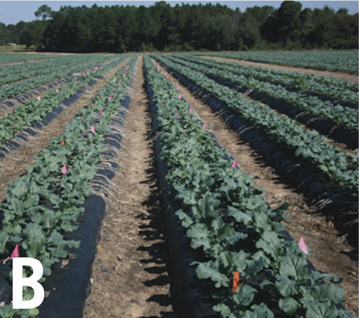 Brocolli crops mid season