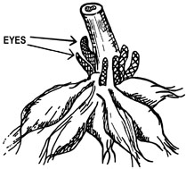 """Figure 1. The """"eyes? or growth buds occur only in the area connecting with the underground stem. If the tubers are pulled off or if they break off, the buds are almost always lost and the tubers are worthless."""